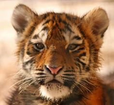 little tiger..