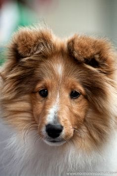 Sheltie Sunday for 37 Photos of Shetland Sheepdogs. Shetland sheepdogs require constant stimulationare are very smart and can easily be trained. Cute Dogs And Puppies, Pet Dogs, Doggies, Sheep Dogs, Adorable Puppies, Beautiful Dogs, Animals Beautiful, Shetland Sheepdog Puppies, Mastiff Puppies