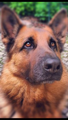 German shepherd #dog #germanshepherd