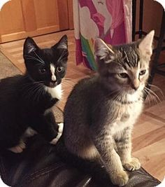 Freeport, NY - Domestic Shorthair. Meet Kittens, a kitten for adoption. http://www.adoptapet.com/pet/16323108-freeport-new-york-kitten
