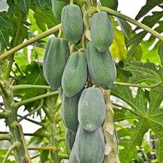 """Amazon.com : Papaya Fruit Tree - Dwarf 'T. R. Hovey'""""TR Hovey Papaya"""" Live Plant Carica : Garden & Outdoor"""