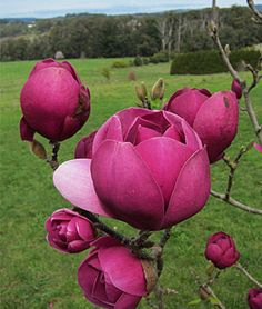 Magnolia, Black Tulip.New Zealand-bred compact tree flowers earlier than most.