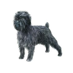 Affenpinscher personality: Loyal, curious, famously funny; fearless out of all proportion to their size. Click to learn more about lifestyle, grooming, etc. #WOOFipedia #WOOF