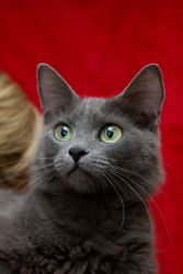 Bailey 'Bae' is an adoptable Russian Blue Cat in Baton Rouge, LA. Bailey is a gorgeous Russian Blue adult female. She is approx 1 year old medium length hair with a beautiful long flowing tail. She lo...