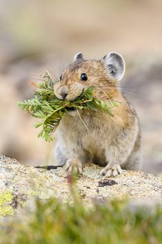 American pika (Ochotona princeps), a diurnal species of pika, is found in the mountains of western North America, usually in boulder fields at or above the tree line. They are herbivorous, smaller relatives of rabbits and hares. They forage and store vegetation to feed on through the long winter months. They live in highly social groups and give a variety of barking calls back and forth to other individuals.