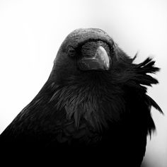 Corbeau~  your beautiful feathers are blowin' in the wind, mi ami!!  :)