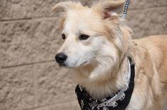 Meet COOPER, a Petfinder adoptable Golden Retriever Dog | Powder Springs, GA | Please contact Jennifer (daysden@live.com) for more information about this pet.NAME: Cooper GENDER:...