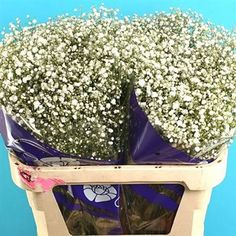 Gypsophila Overtime is a medium size head gypsophila and extremely popular in wedding flowers. Overtime gypsophila is available in different stem lengths - the taller the stem length, the heavier the bunch