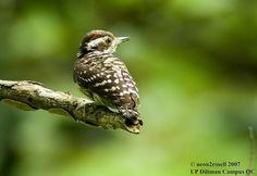 Philippine Pygmy Woodpecker  (Dendrocopos maculatus)