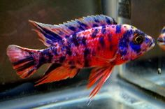 Live Freshwater Aquarium Fish - Find incredible deals on Live Freshwater Aquarium Fish and Live Freshwater Aquarium Fish accessories. Let us show you how to save money on Live Freshwater Aquarium Fish NOW! Tropical Freshwater Fish, Freshwater Aquarium Fish, Aquarium Fish Tank, Fish Tanks, Cichlid Aquarium, Cichlid Fish, Malawi Cichlids, African Cichlids, Sleep With The Fishes