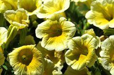 Puisque nous sommes lundi et que l'article original comportait une fleur de cana prise à Dakar (Sénégal), il est pour moi naturel une seconde photo de fleur pour cette réécriture. surfinia jaune @bernieshoot Pour que la fleur soit superbe, La main verte...