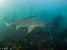 LinkedIn Greenland Shark, Vertebrates, Sharks, Sea Creatures, Whale, Beautiful, Art, Crocodiles, Majestic Animals