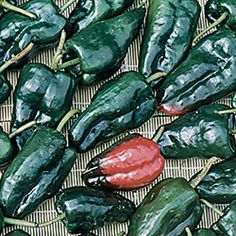 "Pepper, Ancho Gigantea: The standard Mexican variety for sauces and stuffing, excellent for chiles rellenos. Green-black heart-shaped fruits measure 4"" long. Referred to as poblanos when fresh and anchos when ripened to red and dried."