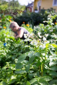 Lapin puikula -perunoiden kukat ovat valkoiset ja nuokkuvat kauniisti kaartuvien varsien päissä. Text Heidi Haapalahti, photo Teija Tuisku viherpiha.fi