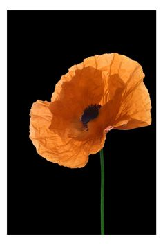I have always loved Poppies