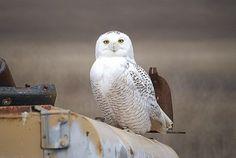 Montana Snowy Owl 1
