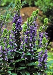 Lobelia Great Blue For late summer blue blooms these are the ones to choose. The stems are 2-3 ft. tall and clustered with deep throated flowers that humming- birds love. Grow easily and are adaptable to moist shady areas.