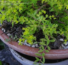 201 best in my mothers beautiful country yard images on pinterest sedum golden teardrop lineare survives winter in columbia sc with dieback blooms are small yellow vigorous growth mightylinksfo