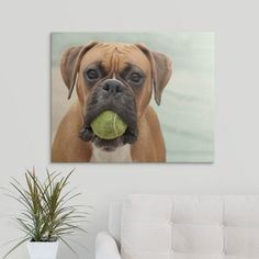 Premium Thick-Wrap Canvas Wall Art Print entitled Boxer dog with a tennis ball in its mouth, None
