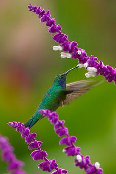 Green Violeteared Hummingbird.