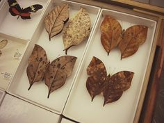 In this photo from the butterfly collections at the Smithsonian's National Museum of Natural History, Bob Robbins has pulled out some butterflies that look like fallen beech leaves.""