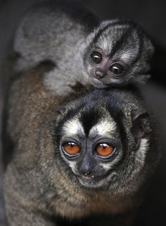 Owl Monkey, also called douroucoulis, are amazing animals. I enjoyed working with them but never had the pleasure of seeing an infant...
