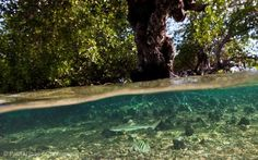 A blacktip reef sharks swims in the mangroves at Kanawa Island near Flores, Indonesia.