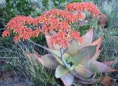 Photos of South African Plants - Category: Aloe - Image: Aloe striata near Graaff-Reinet Aloe, African Plants, Cactus, Garden, Succulents, Plants