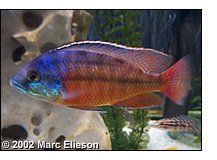 Find information about keeping the Super Red Empress Cichlid or Protomelas taeniolatus (Red) in a home aquarium, including advice for feeding and breeding your Super Red Empress Cichlid. Cichlid Fish, Home Aquarium, African Cichlids, Fish Tank, Red, Amazing, Aquarium, Aquarius, Rouge