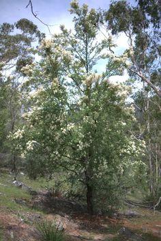 A must have in your habitat garden: Bursaria spinosa - Mallee Design
