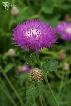 Royal Horticultural Society - RHS - Flower - Centaurea-'John-Coutts