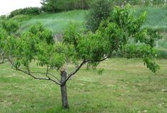 How to Prune a Peach Tree to Keep It Shorter and Healthy