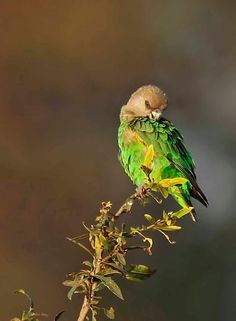Brown-headed Parrot Poicephalus cryptoxanthus