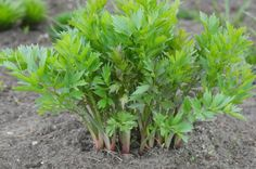 Lovage: this herb has been long used to benefit skin health, lung and kidney function, allergies, inflammation and many other health conditions.