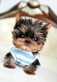 cute. uruguayan sweater.. mini, tiny, mini tea cup yorkie. squish it all!!! oops! he broke!! jaja! //