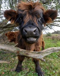 """funnywildlife: """" Moo bad hair day by Tilly Meijer-Fotografie """" funnywildlife: """" Moo bad hair day by Tilly Meijer-Fotografie """" - Beliebt Süße Tiere Bilder Cute Baby Animals, Farm Animals, Animals And Pets, Funny Animals, Wild Animals, Beautiful Creatures, Animals Beautiful, Fluffy Cows, Baby Cows"""