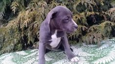 Petition · Jersey Customs : Jersey Customs: Return Pitbull puppy seized to owners · Change.org