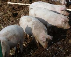Raising Our Homestead Pigs in the Winter
