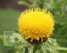 154 best plants for pollinators images on pinterest bee happy spectacular golden yellow thistle like flowers on stiff stems mightylinksfo