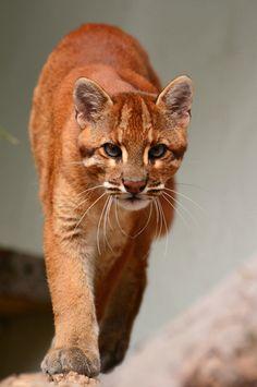 Catopuma t. temminckii - Östliche Goldkatze - South-east Asian golden cat