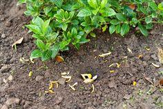Natural de Plagas Repelente Uso naranja y cáscaras de plátano para mantener las plagas lejos . Corte las cáscaras de plátano para enterrar a 1 a 2 pulgadas de profundidad en el suelo alrededor de las plantas que son propensas a infestaciones de áfidos para repeler y eliminar los pulgones de la zona.