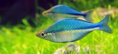 The Lake Kutubu Rainbowfish is a beautiful fish with an endearing personality. They are one of the larger rainbow fish, reaching almost 5 inches (12.5 cm) in length. They have constantly changing but always beautiful colors. Don't be turned off when you see these fish in pet shops, as they are usually drab and gray. Once in the right stress free environment these fish will come to life and their colors jump right out at you.