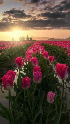 Sunrise Pictures, Nature Pictures, Flower Wallpaper, Nature Wallpaper, Good Morning Flowers, Tulip Fields, Amazing Nature, Belle Photo, Pretty Pictures