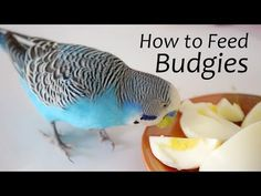 Choosing the Right Foods - Seeds - Use fruits and vegetables. - Provide hard boiled eggs and grated cheese. Feeding Your Budgie Correctly - Provide a cuttleb. Budgie Food, Parakeet Food, Parakeet Care, Diy Parakeet Cage, Cute Birds, Pretty Birds, Funny Birds, Budgies Care, Hard Boiled
