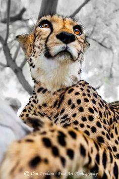 cheetah portrait. look at those eyelashes *wink wink*