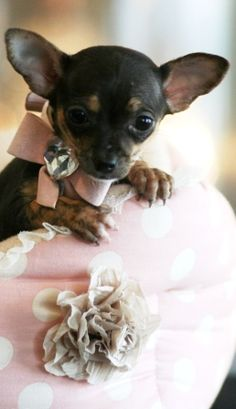 Charlene the Chihuahua Puppy For Sale