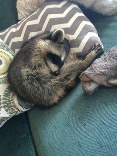 sleeping in luxury Cute Raccoon, Racoon, Fluffy Animals, Animals And Pets, Wild Life, Cute Animal Photos, Cute Little Animals, Spirit Animal, Pet Birds