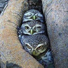 BUHOS: dormido, con noni y despierto - Owl Photos, Owl Pictures, Beautiful Owl, Animals Beautiful, Baby Owls, Cute Baby Animals, Nature Animals, Animals And Pets, Owl Bird