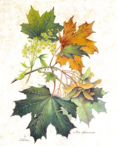 Norway Maple (Acer platanoides) by Heidi Snyder, colored pencil on mylar, from the book, 'Denver's Canopy: The Nature of Deciduous Trees' / Botanical Illustration