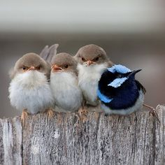 It just makes me smile! the expression on the one next to the blue one is priceless...grumpy bird!